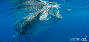 Spaces available: Wetpixel Whale Sharks 2016 Photo