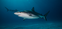 New study into shark behavior during hurricanes Photo