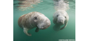 Florida may be on track for highest year of manatee deaths on record Photo