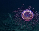 ROV footage of amazing deep water jellyfish Photo
