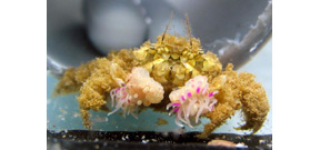 Boxer crabs harbor their own species of anemone Photo