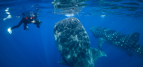 Join Wetpixel for Whale Sharks 2020 Photo