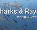 Video: Sharks and Rays Online Learning by Annie Crawley Photo