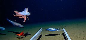 Expedition captures images of octopus at 7000 meters Photo