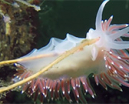 Video: Nudibranchs of Gulen by Guido Schmitz Photo