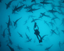 Film: Malpelo, the island of the Hammerhead sharks by Didier Noirot Photo