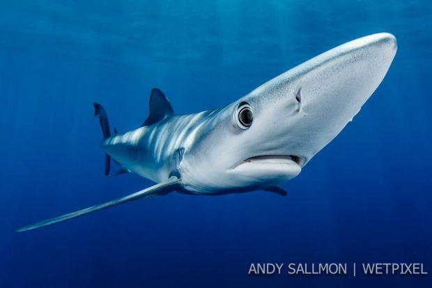 Shark blue-0275-edit andy
