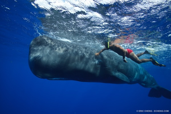 Intimate encounter between human and sperm whale, Dominica